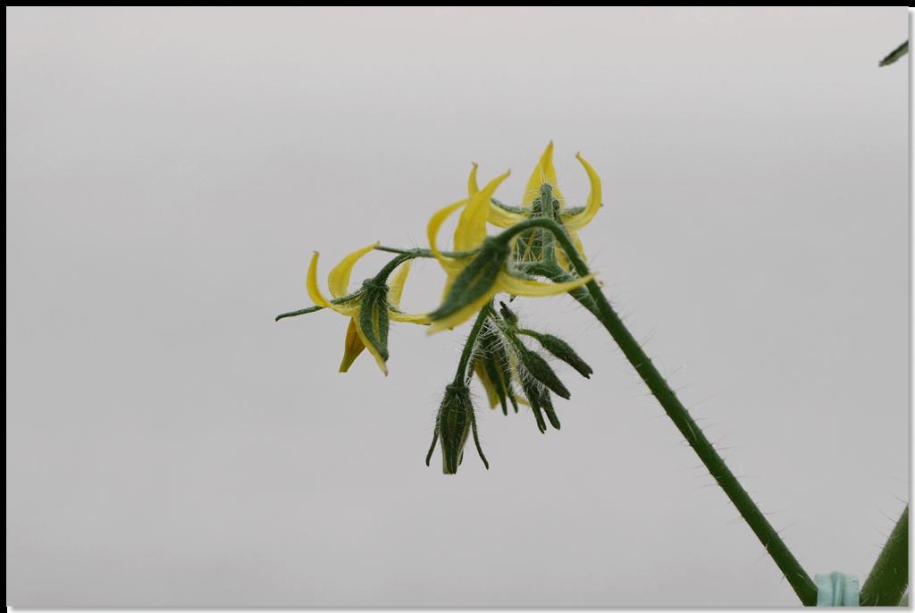 ルビーノ5段目の花房